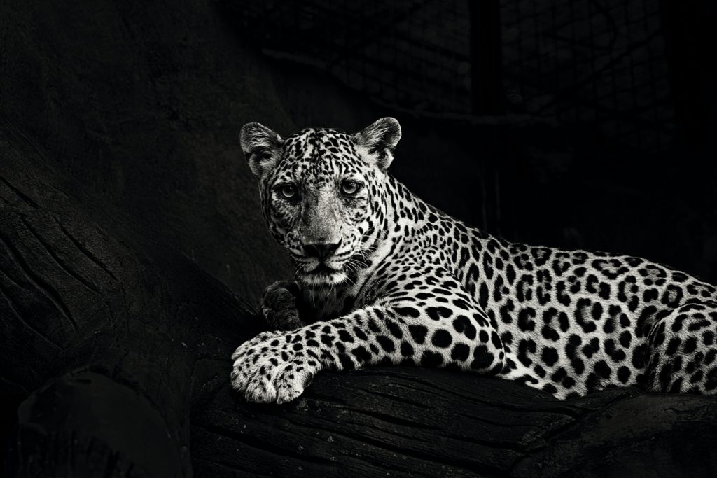 The Leopard - The African Big Five