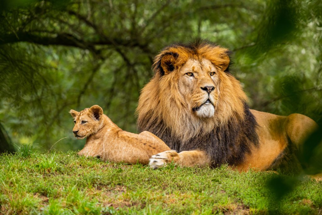 The Lion - The African Big Five